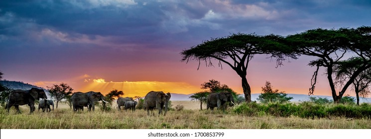 A panoramic shot of a group of elephants in the wilderness at sunset - Shutterstock ID 1700853799