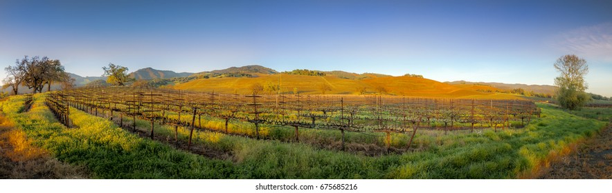 A panoramic of Sonoma valley vineyards late in the afternoon with fluffy white clouds, trees and buildings.