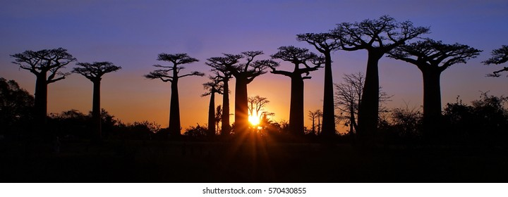 Panoramic of the sunset at the Avenue of the Baobabs near Morondova, Madagascar