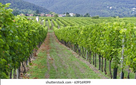 panoramic view across the rows of grapevines at vineyards in the little village of Sooss, Austria