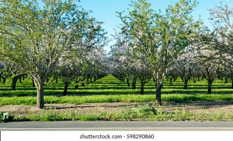 Panoramic view of almond blossoms in orchard photographed from across the street, showing a section of the road, in the beginning of the spring in Winters, California, USA