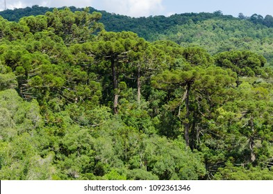 Panoramic view of Araucaria trees (Araucaria angustifolia) in Canela, Rio Grande do Sul, Brazil, 2018.