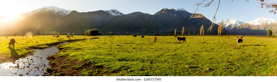 Panoramic view. Argentine Chilean Patagonian landscape with freely grazing cows near a river. Group of cows in sunset
