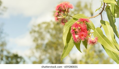 Panoramic view of Australian red flowers and green gum leaves of eucalyptus tree Corymbia ptychocarpa known as Summer Red flowering in winter