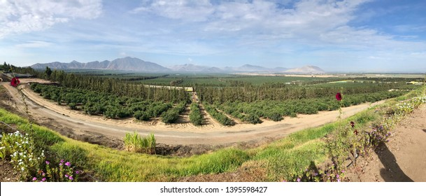 Panoramic view of avocado orchard