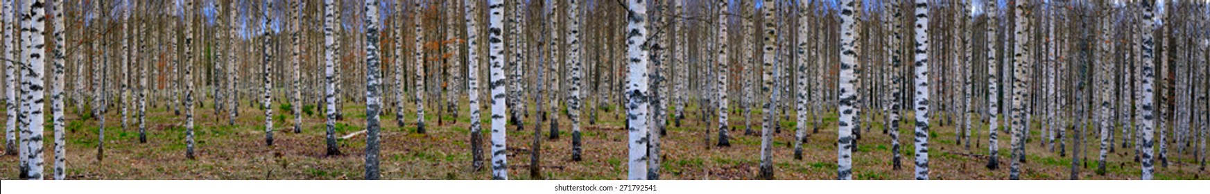 Panoramic view of bare trees in scandinavian birch forest in early spring