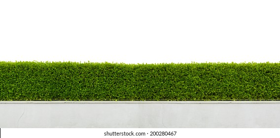 Panoramic view of beautiful hedge fence isolated on white background