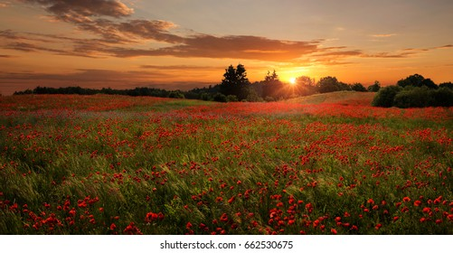 Panoramic view of beautiful, red poppies field at the sunset with copy space