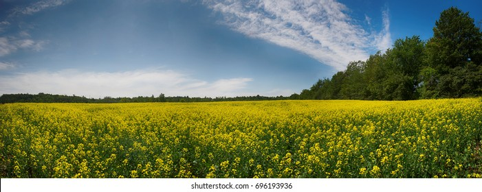 Panoramic view of blooming yellow rapeseed field under blue sky during the summer in Collingwood, Ontario