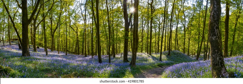 Panoramic view of Bluebell carpet's in Fishgarth Wood, Ambleside, Lake District, UK.
