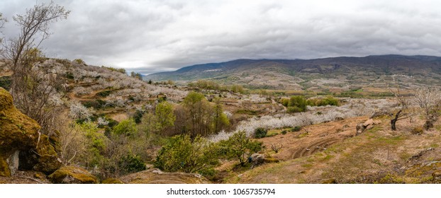 Panoramic view of a cherry blossom valley