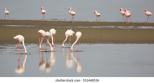 panoramic view from a colony of Rosy Flamingo in Walvis Bay Namibia