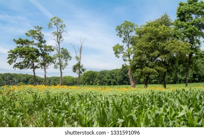 A panoramic view of a cornfield with sunflowers in Manalapan New Jersey.