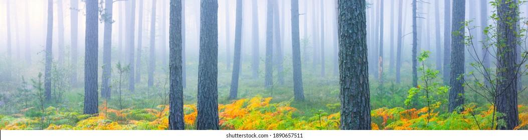 Panoramasicht auf die immergrünen Wälder in einem Nebel, Waldboden von bunten grünen, goldenen, roten Farnblättern. idyllische Herbstszene. Reine Natur, Ökologie, Jahreszeiten, Textur, Hintergrund, grafische Ressourcen