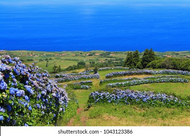 panoramic view of Faial Island in the Azores with a hedge of blue hydrangea