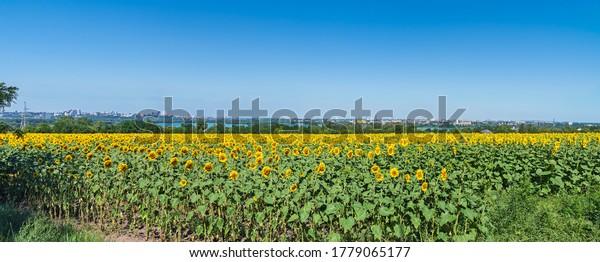 panoramic-view-field-blooming-sunflowers