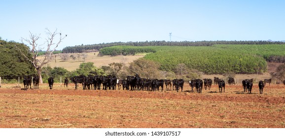 Panoramic view of field with cattle Angus and Wagyu on farm pasture with plowing in the background on beautiful summer day. Brazil is the second largest producer of meat in world beef production.