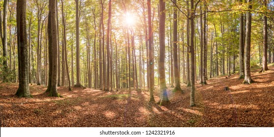 panoramic view in forest with beech trees and sunbeam