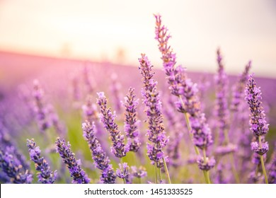 Panoramic view of French lavender field at sunset. Sunset over a violet lavender field in Provence, France, Valensole. Summer nature landscape. Beautiful landscape of lavender field, boost up colors
