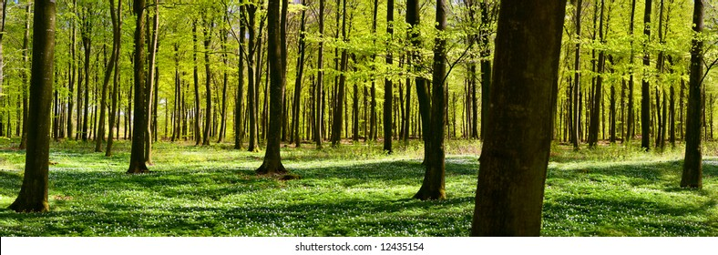 Panoramic view of a green forest at spring time