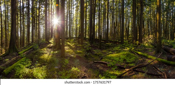 Panoramic View of Green and Vibrant Rain Forest during a sunny spring day. Taken in Abbotsford, East of Vancouver, British Columbia, Canada. Nature Background Panorama