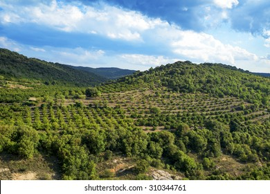 panoramic view of a hazelnut trees grove in the Prades Mountains, Spain