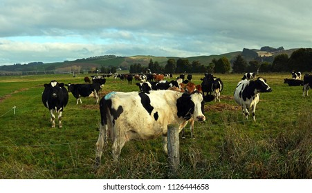 Panoramic view of a herd of Holstein Freisian Cows enjoying late afternoon winter sunshine in Peenbles, North Otago, New Zealand.