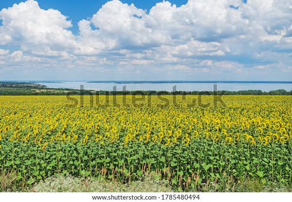 panoramic-view-huge-field-blooming-600w-