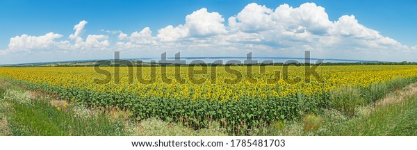 panoramic-view-huge-field-sunflowers-600