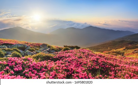 Panoramic view in lawn with rhododendron flowers. Mountains landscapes. Concept of nature rebirth. Save Earth. Amazing summer day. Location Carpathian, Ukraine, Europe.