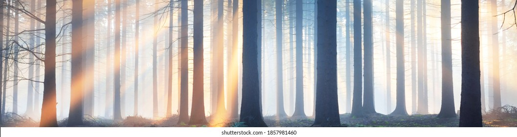 Panoramic view of the majestic evergreen forest in a morning fog. Ancient pine tree silhouettes close-up. Atmospheric dreamlike summer landscape. Sun rays. Nature, ecology, fantasy, fairytale
