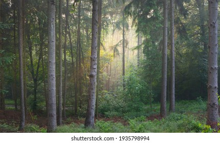 Panoramic view of the majestic evergreen forest in a morning fog. Mighty pine tree silhouettes. Atmospheric dreamlike summer landscape. Sun rays, mysterious golden light.