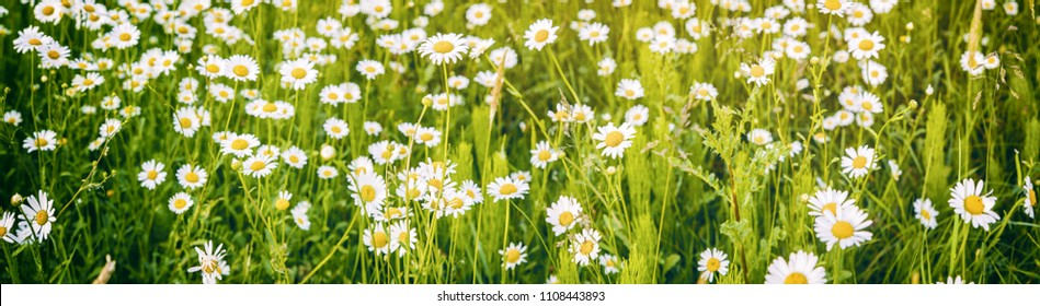 Panoramic view of a meadow full of camomile flowers on a beautiful sunny day
