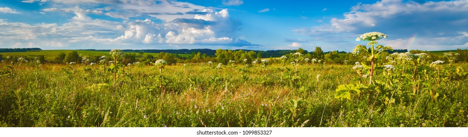 Panoramic view of a meadow at sunset. Heraclium on the foreground. Rural landscape. Panorama