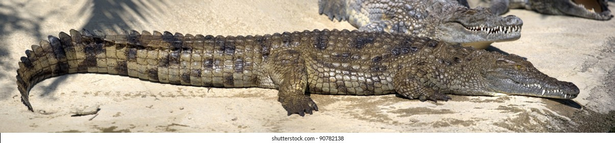 Panoramic view of Nile crocodile lying on the shore.  Image assembled from few frames