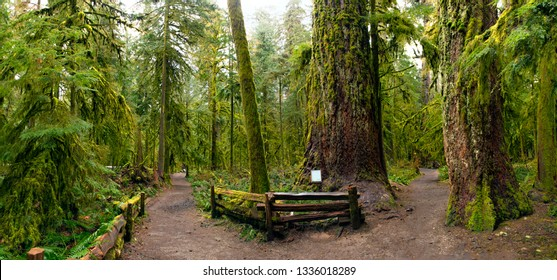 Panoramic view of old growth forest in Cathedral Grove park, a rare and endangered Douglas fir ecosystem on Vancouver Island in BC