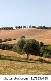 Panoramic view of olive groves and fields on rolling hills of Abruzzo