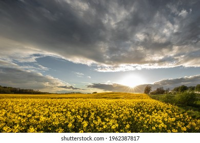 Panoramic view on agricultural rapeseed field with blooming yellow canola flowers and perfect golden hour sunset light.  Harvest concept.
