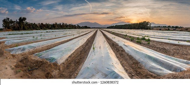 Panoramic view on field with young plants of corn covered by plastic film against bird. Advanced agriculture in desert areas of the Middle East