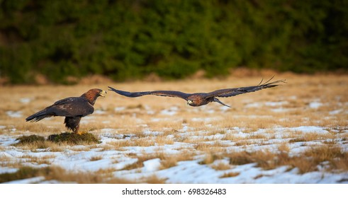 Panoramic view on pair of eagles, Golden Eagle, Aquila chrysaetos in action on snowy meadow. One eagle calling to the second, which flies close to over it. Pair of golden eagles in winter landscape.