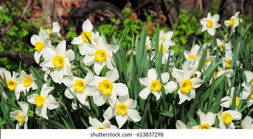 Panoramic view on White spring  narcissus  flowers.  Narcissus flower also known as daffodil, daffadowndilly, narcissus, and jonquil.