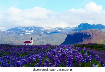 Panoramic view over field purple lupins into valley on isolated lutheran church with red roof and partly snow capped mountains background - Iceland Vik