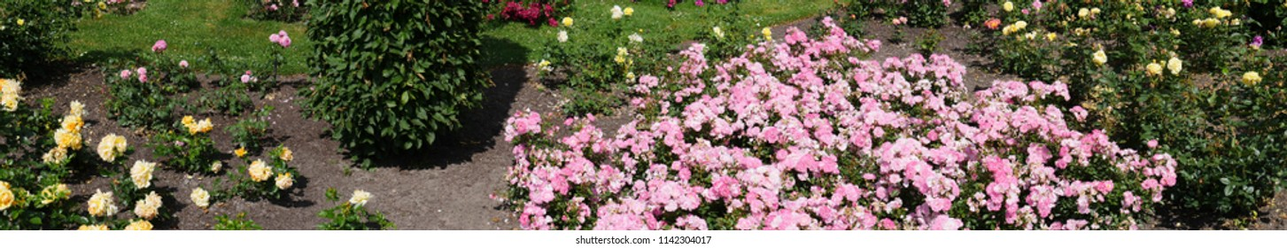 Panoramic view over a flowerbed, mainly planted with roses, right side densely planted, left side only sparsely planted. Thus visible soil.