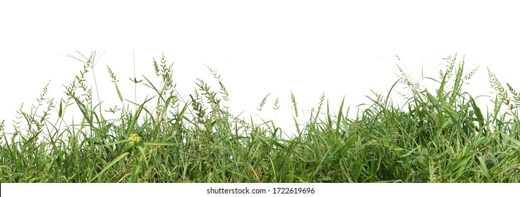 Panoramic view of overgrown green grass Isolated from white background with clipping path. - Shutterstock ID 1722619696