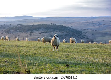 Panoramic view of Pester plateau landscape in southwest Serbia. Sheeps in the pasture