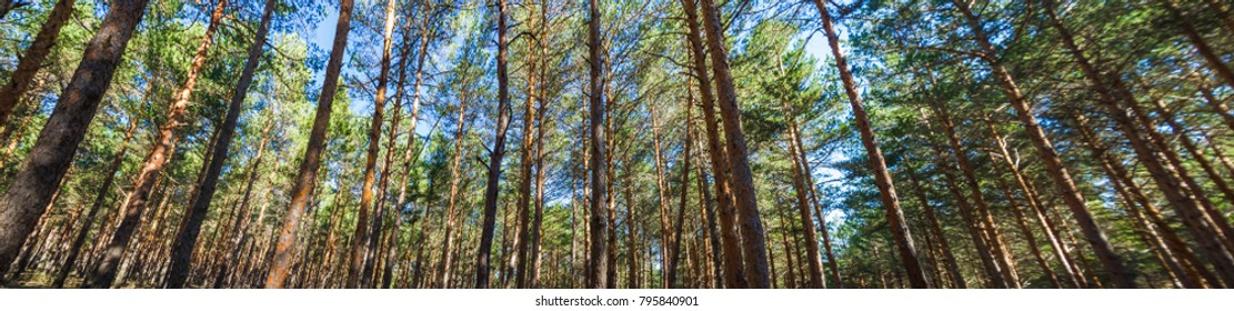 Panoramic view of pine forest or tall, straight pine forest