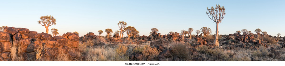 Panoramic view of the quiver tree forest at Garas near Keetmanshoop on the B1-road to Mariental at sunrise