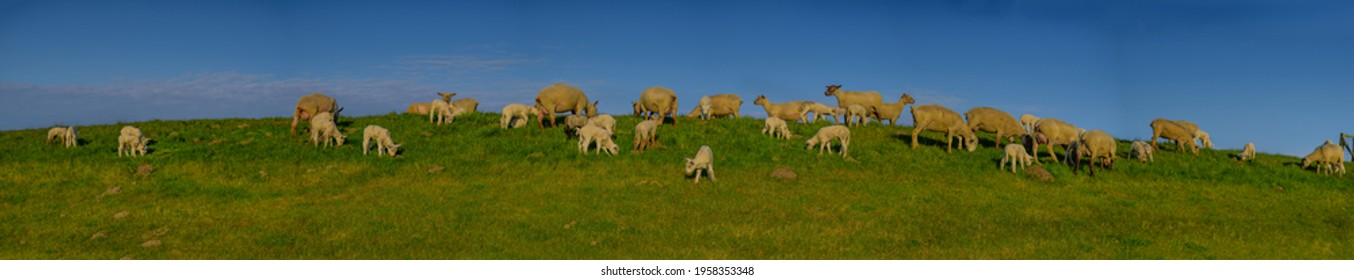 Panoramic view of sheep and lambs on a dike in the sun at the Baltic Sea, Dahme, Schleswig-Holstein, Germany. Flock of sheep with lamb in field or dike, wool on the hoof. Sheeps offspring with mother