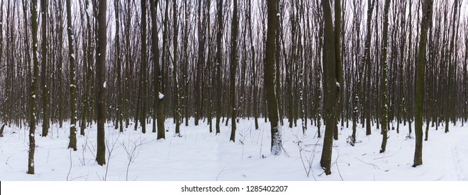 Panoramic view of the snow in the forest