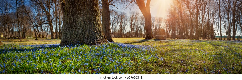 Panoramic view to spring flowers in the park. Scilla blossom